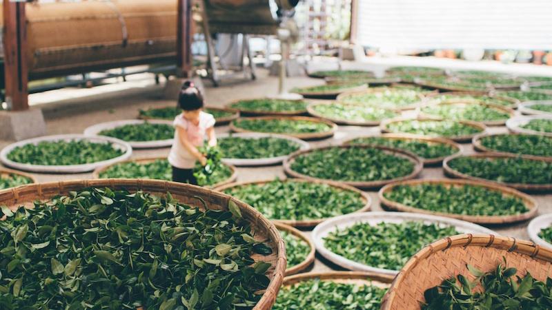 plucked tea leaves