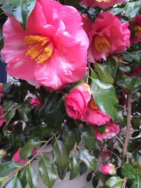 the beautiful home garden plant is a cousin to the camellia sinensis tea plant